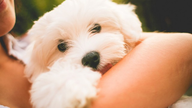 Hugging maltese puppy