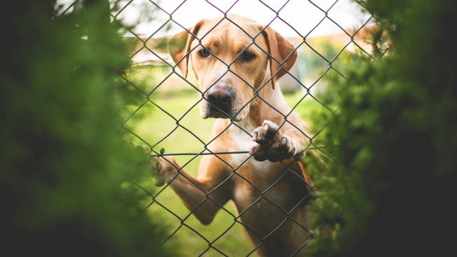 Golden retriever behind the fence